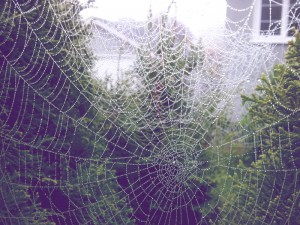 Spiderwebs-with-Dew
